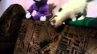 Трехцветный британский котенок