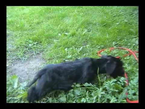 Cesky Terrier Roma