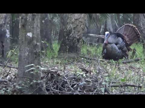 Osceola Turkey Green Swamp WMA