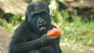 Denny the Gorilla Celebrates a Third Birthday