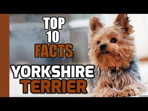Top 10 Facts about Yorkshire Terrier