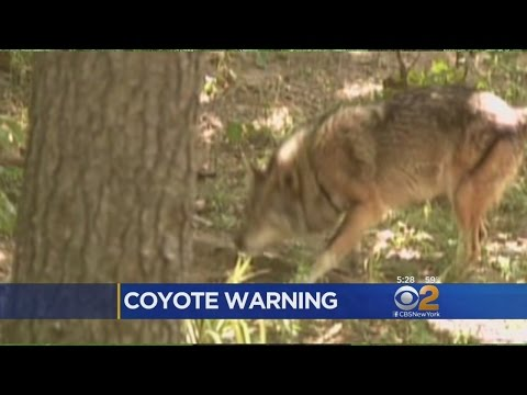 Westchester County Coyote Warning