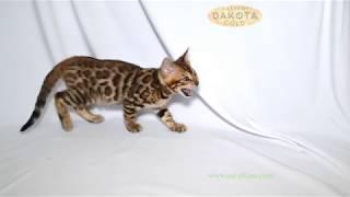 Dakota Gold, официальный питомник бенгальской кошки, бенгальский котенок, на белом фоне 1