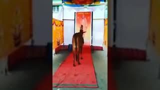 Cow Crying For Shivakumara Swamy Passes Away