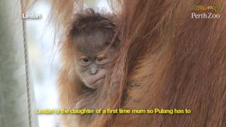 Two Sumatran Orangutans Born at Perth Zoo