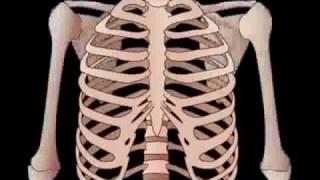 видео Плечевой сустав человека и его анатомия: строение плеча и предплечья, функции и роль в организме - Страница 3 из 3