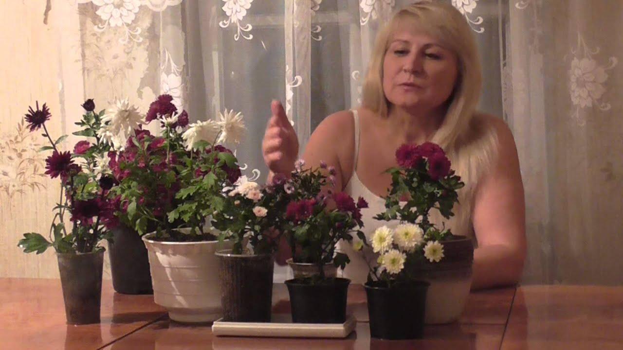 Хризантема комнатная уход