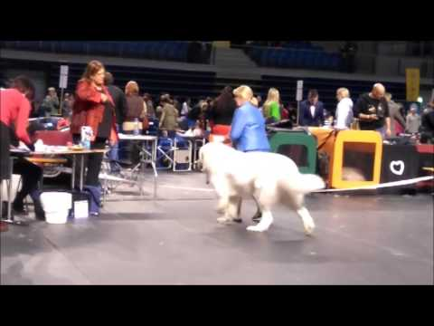 Tallinn Winner 2017 International dog show / Pyrenean Mountain Dogs