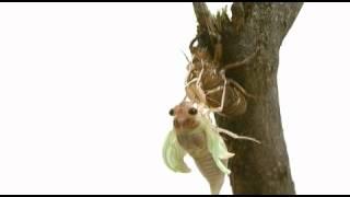 アブラゼミの羽化の様子です。私も羽化の瞬間を見たのは初めてだったの...