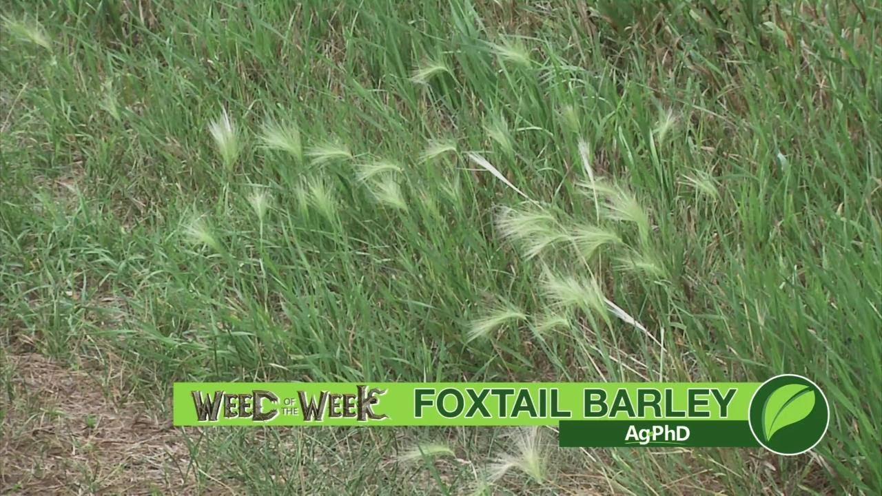 Weed Of The Week 1033 Foxtail Barley