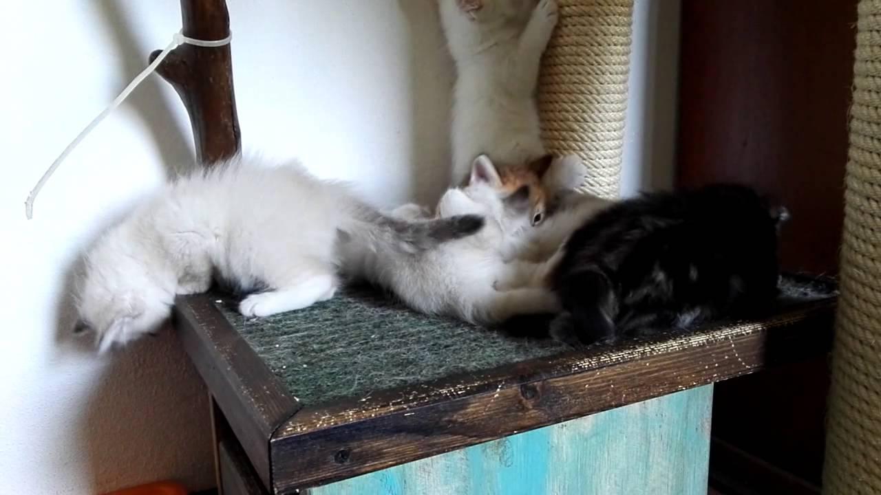 I Giochi Dei Cuccioli Di Gatto Siberiano Youtube