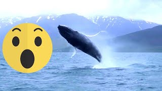 Iceland, Dalvik – watching crazy humpback whale from the RHIB boat