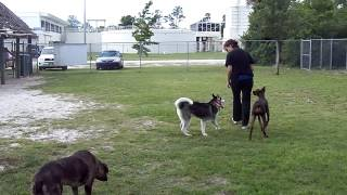 Siberian Husky Training Tips E Collar Off Leash Distractions Dogtra Pager