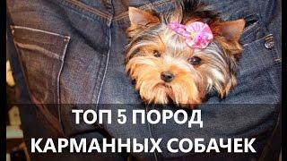 Маленькие породы собак - Карманные Топ 5