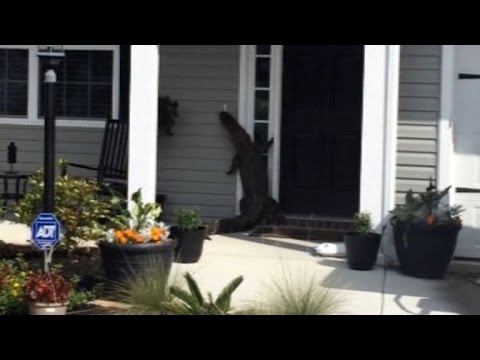 Watch An Alligator Stroll Up To This House And Try To Ring