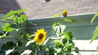 Dr. Fun - Heliotropic Sunflowers and Vampire Rabbits