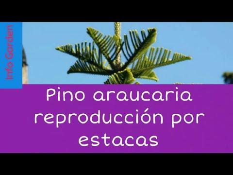 Reproducción y cuidados del pino araucaria por estacas