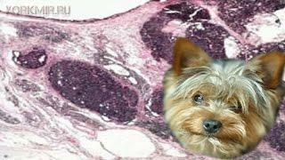 Карцинома у собак | Виды | Где возникает | Лечение.(Карцинома у собак (рак) обуславливается образованием опухоли злокачественной, развивающейся в клетках..., 2016-03-13T14:33:06.000Z)