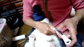野良猫だったゴマ子は、すごく暴れるので靴下を被せて爪きりします.