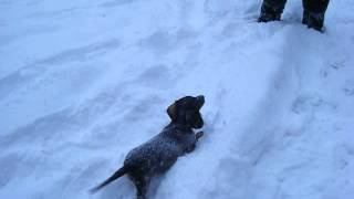 Dachshund Puppy Playing In The Snow