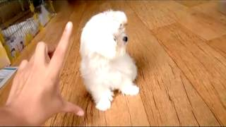Teacup Maltese Tiny Size Dogs For Sale