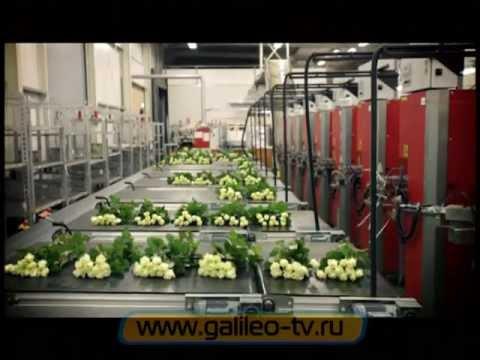 Галилео. Цветочные аукционы в Голландии
