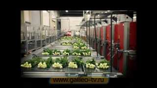 Галилео. Цветочные аукционы в Голландии(866 от 07.03.2012 Съемочная группа Галилео в Голландии. В этом сюжете вы узнаете о том, как проходят торги на..., 2012-03-19T07:47:35.000Z)