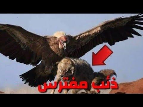 أقوي وأشجع طائر في العالم ؟