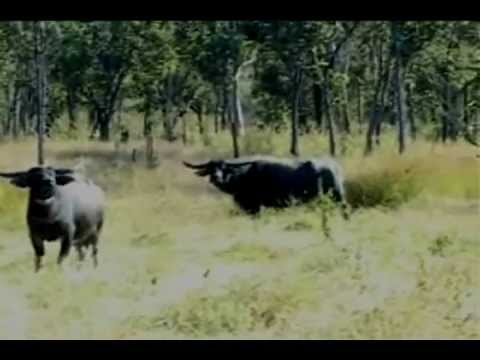 Exciting Water Buffalo Hunt in Australia