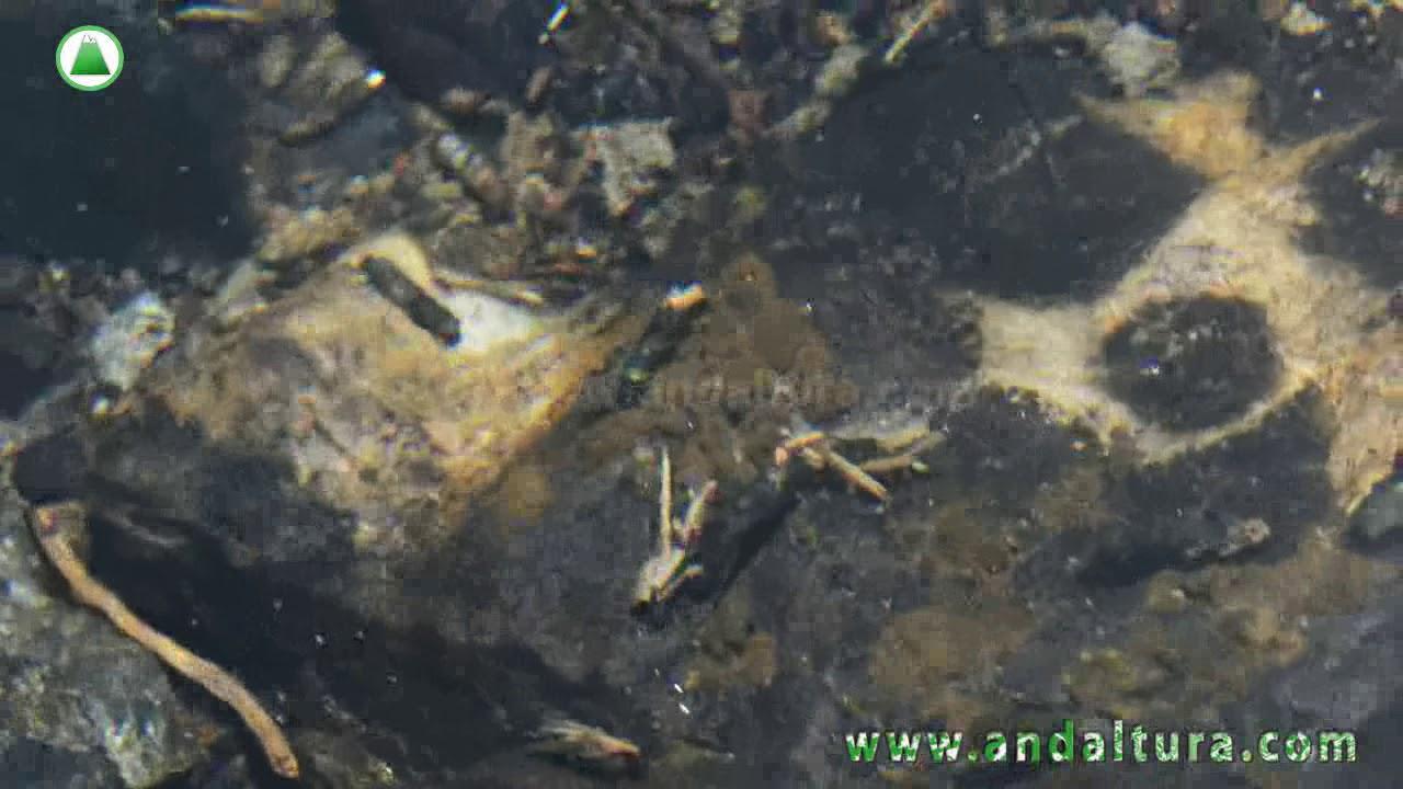 Fauna de los Arroyos de la Alta Montaña de Sierra Nevada   Tricópteros e Invertebrados