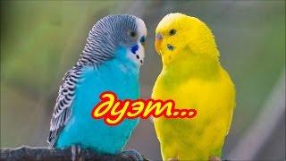 🐦Пение волнистых попугаев.🐤 Пение попугая и кенара. 🐥Singing of parrot and canary