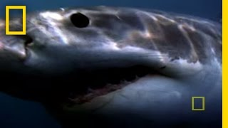 Best '08! Bull Sharks | National Geographic