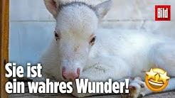 Extrem seltenes weißes Rentier auf Alm in Nahetal geboren