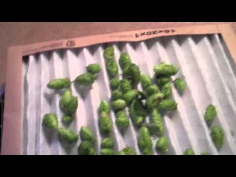 Harvesting and Drying hops