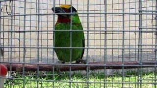 Suara Burung Takur Yang Khas Megalaima Armillaris