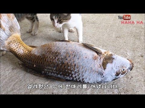 고양이의 거대 냉동잉어먹방!