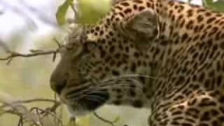 Leopard vs wildebeest herd - BBC wildlife
