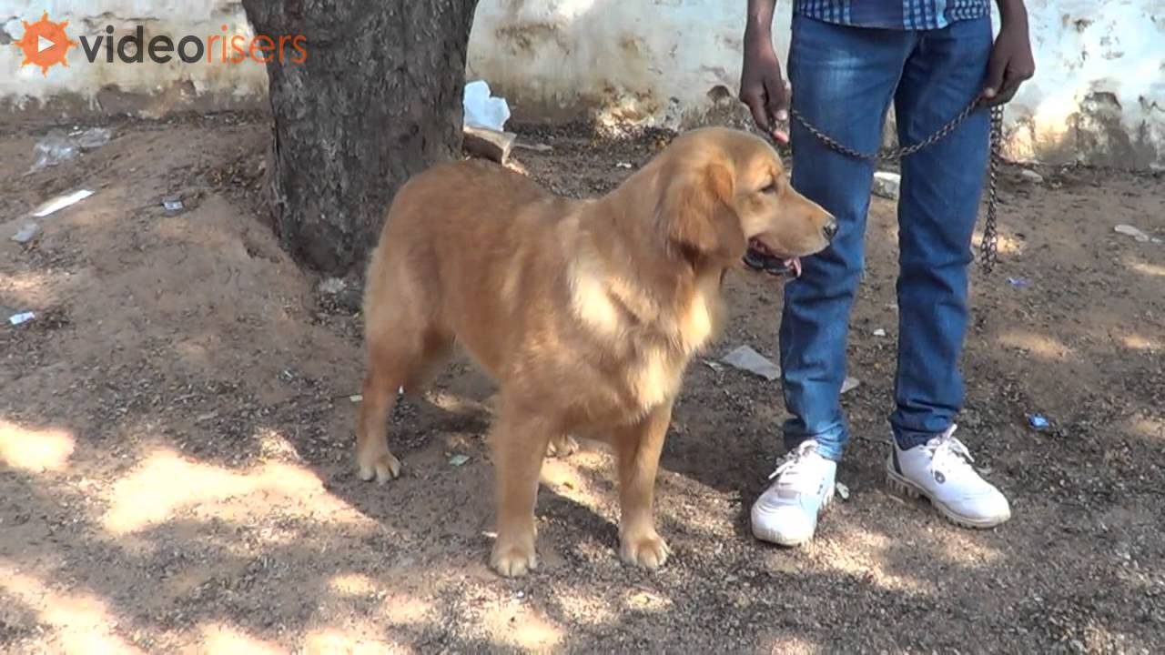 Beautiful Golden Retriever Dog Superb Video Youtube