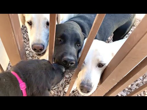 THE LAST LABRADOR PUPPY SAYS BYE TO HER FAMILY!