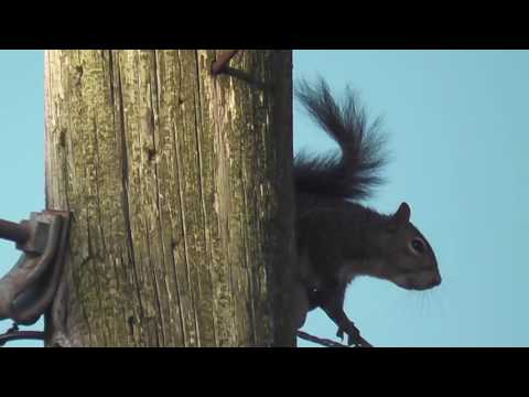 Gray squirrel calling