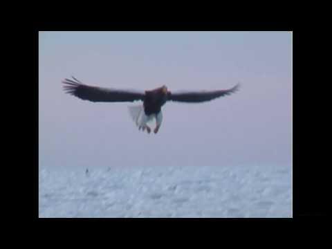 オオワシ(1)冬鳥(北海道) - Steller's