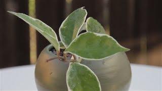 """Hoya carnosa variegata """"Variegated Hoya"""""""