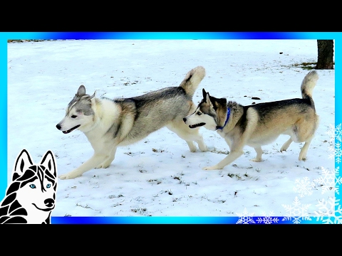 HUSKIES PLAYING IN THE SNOW  | Memphis and her #BFF