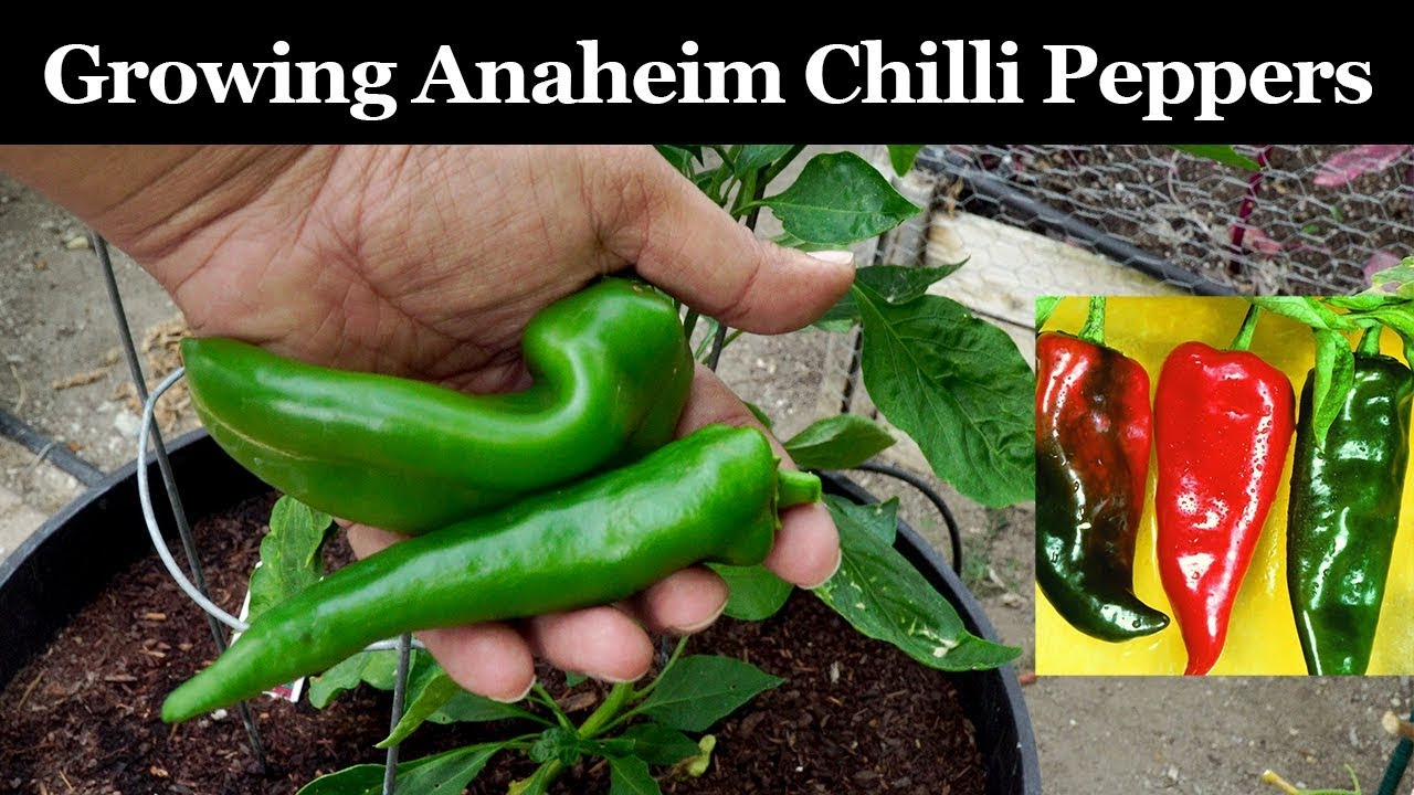 Growing Anaheim Chilli Peppers How To Grow Anaheim New Mexico California Chillies Youtube