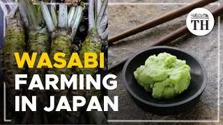 All about Japan's 'green gold'
