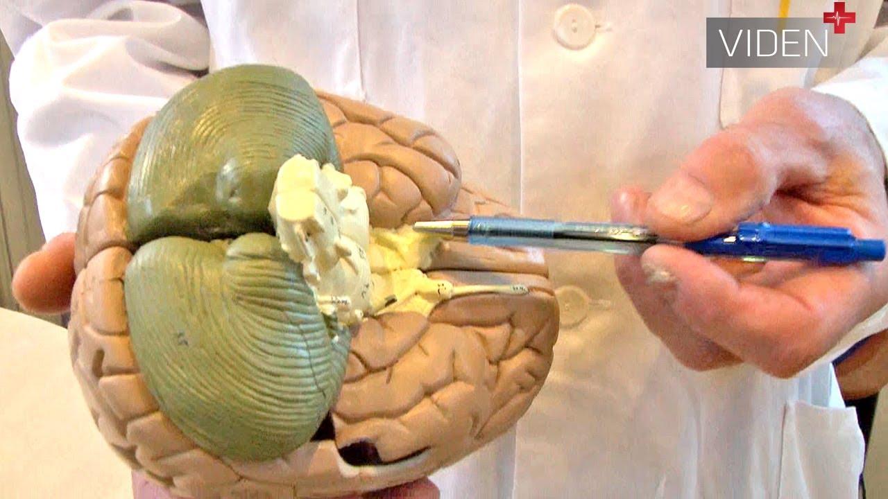 Sådan fungerer hjernens biologiske ur