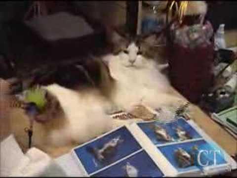 North Coast Cat Fanciers Show