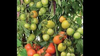 cara menanam tomat agar berbuah banyak - cara menanam tomat agar cepat berbuah
