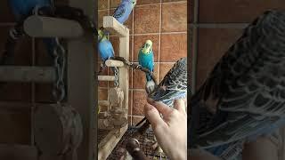 Волнистые попугаи, Чехи