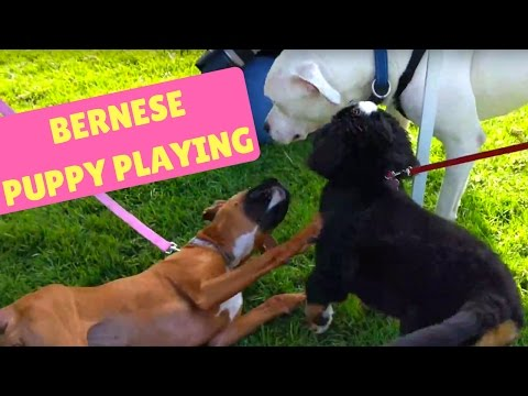 Bernese Mountain Dog Willow playing at Kepala Dog Resort 4K HD